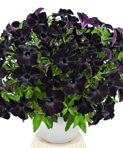 Special New Petunia Black Ray plant in a 10cm pot x 3.