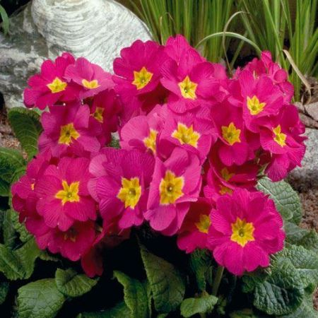 Polyanthus ROSE Bedding Plant 6 Pack Garden Ready Plants