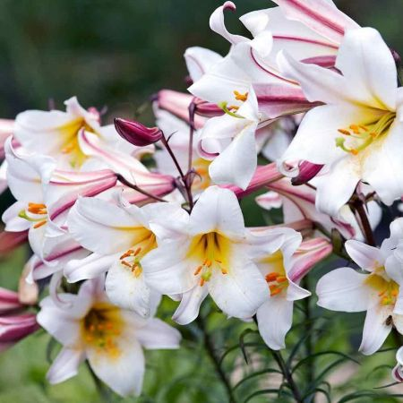 Lily Regale Bulbs x 3. VALUE PACK.