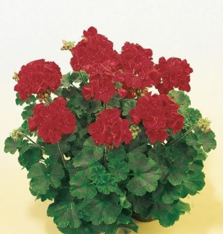 Geranium Magnus (Deep Velvet Red) Plant in 13cm pot x 3 Pelargonium