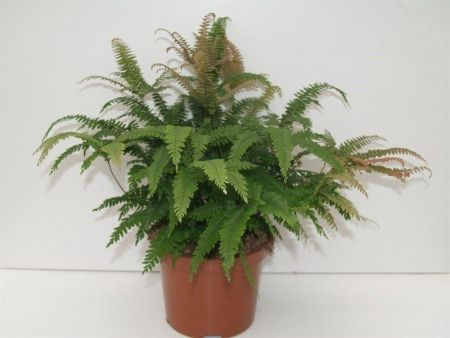 Adiantum hispidulum Bronze Venus maidenhair fern house plant in 12cm pot
