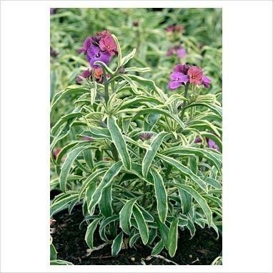 Erysimum 'Stars and Stripes' plant in a 17cm pot.  Perennial wallflower