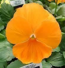 Pansy Orange bedding plant 6 Pack Garden Ready Plants.