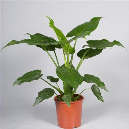 Alocasia Cucullata Exotic House Plant in a 21cm Pot.  Approx  75cm tall.