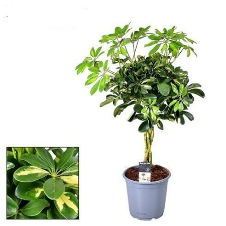 Schefflera Gold Capella with a Braided Stem.  70cm tall