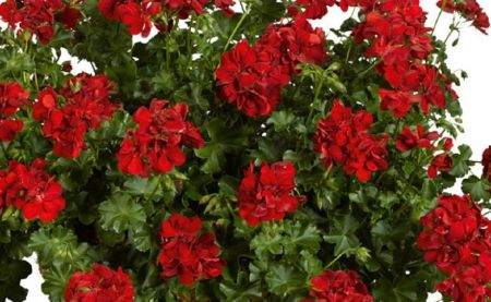 Trailing Ivy Leaf Geranium Ruby Plant in 10cm pot x 3 Pelargonium Peltatum