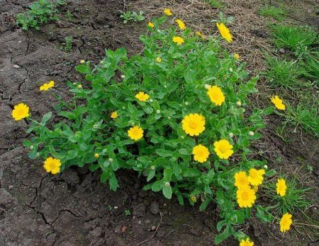 Wildflower Corn Marigold Seeds - 5g packet
