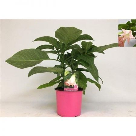 Brugmansia PINK house plant in 19cm pot.  Approx 40cm tall