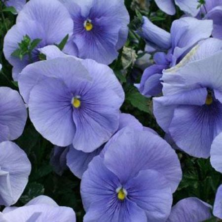 Pansy Light Blue bedding plant 6 Pack Garden Ready Plants.