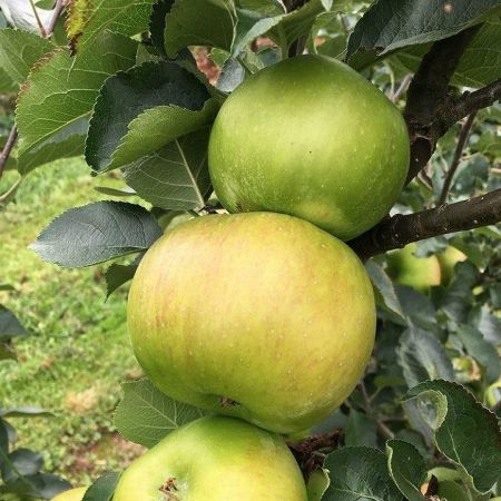 Apple (Malus) Bramley 20 tree in a 12 Litre Pot - Bush form - Rootstock MM106
