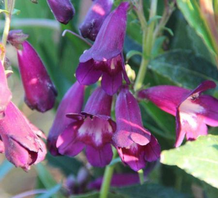 Penstemon Burgundy plant in a 13cm pot.  Hardy perennial