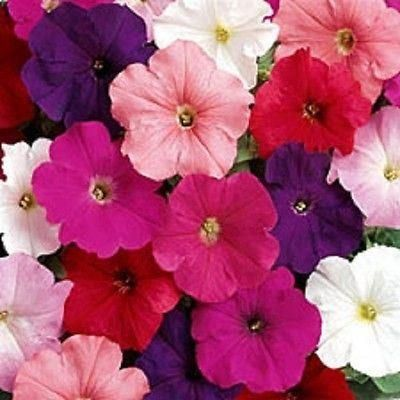 Petunia plants Mixed Colours 6 Pack. DISCOUNTS for multiple purchases