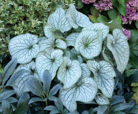 Brunnera Alexanders Great Plant in a 17cm pot.  Fabulous Foliage