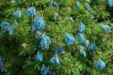 Corydalis solida China Blue Plant in a 13cm Pot. Shade loving Plant