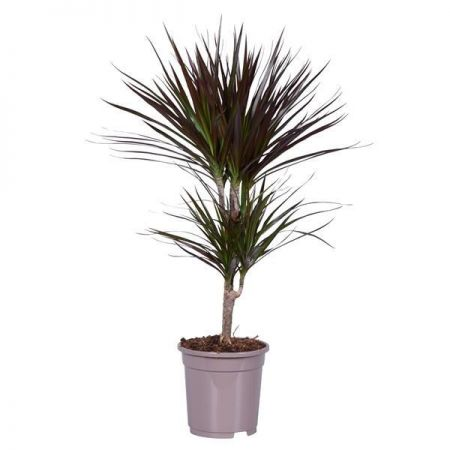 Dracaena marginata Magenta twin stem dragon tree house plant in 17cm pot