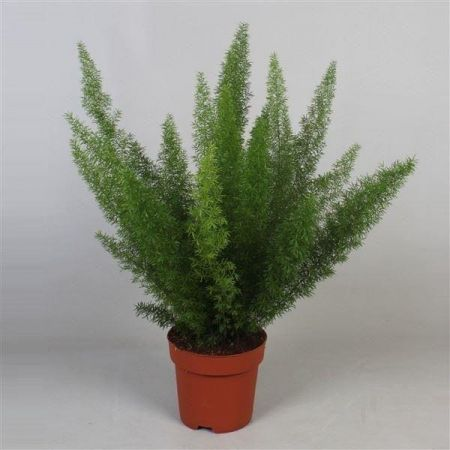 Asparagus densiflorus Myersii house plant in 12cm pot. Foxtail or Meyers fern
