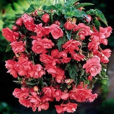 Begonia Pink Giant Pendula Bulbs / corms x 3.  A favourite for hanging baskets