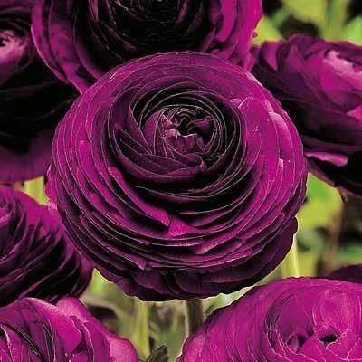 Ranunculus Purple Heart bulbs x 10