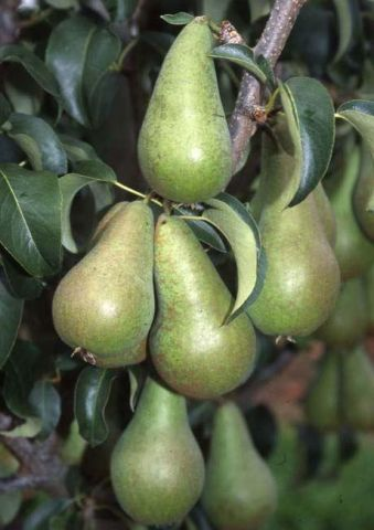 Pear (Pyrus) Concorde tree in an 11.5 Litre patio pot - Rootstock Quince Eline