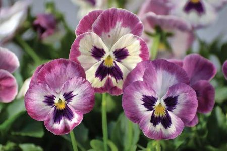 Pansy Rose Shades Plant 6 Pack  Bedding plants ready for the garden