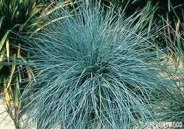 Festuca  glauca. Evergreen ornamental grass in a 10cm pot.