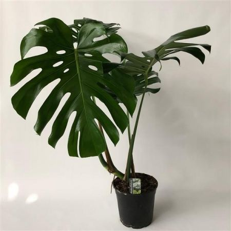 Monstera deliciosa Swiss cheese plant with XL leaves in 24cm pot 100cm tall