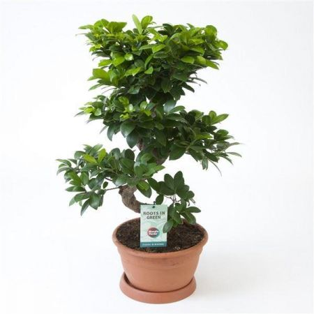 Ficus ginseng S shape bonsai house plant. 70cm tall.