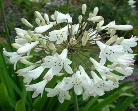 Agapanthus Polar Ice plant in a 17cm pot. Lily of the Nile