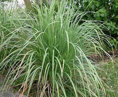 Lemongrass Plant in a 11cm pot.  Use for Asian Cooking