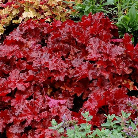Heuchera Forever® Red Perennial Plant. in a 13cm Pot. New Variety