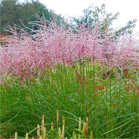 Miscanthus sinensis Flamingo Hardy ornamental grass in a 17cm pot