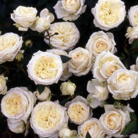 Special Occasion Rose Silver 25th Anniversary in a 3.5 litre Pot