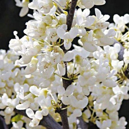 Cercis reniformis Texan White red bud tree in a 12 Litre container
