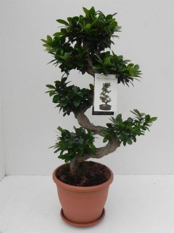 Ficus ginseng S shape bonsai house plant 90cm tall approximately