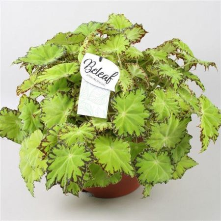 Begonia Beleaf Series Lima Love house plant in 12cm pot