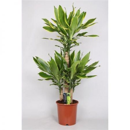 Dracaena Golden Coast House Plant. 100cm Tall. Dragon Tree