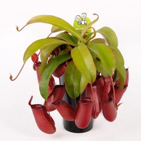 Nepenthes Bloody Mary Carnivorous Plant in a 14cm Pot Pitcher Plant