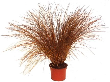 Carex petriei Ornamental Grass Plant in a 17cm Pot Sedge