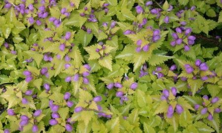 Lamium Canons Gold plant in 12cm pot. Coloured foliage hardy perennial