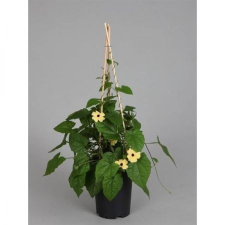 Black Eyed Susan YELLOW Plant in a 14cm Pot approx. 60cm tall