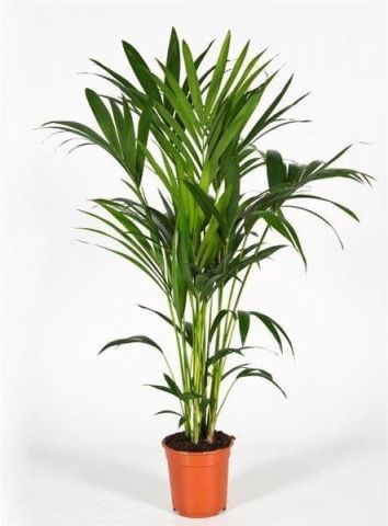 Howea forsteriana house plant in 17cm pot. Approx 80cm tall. Kentia palm