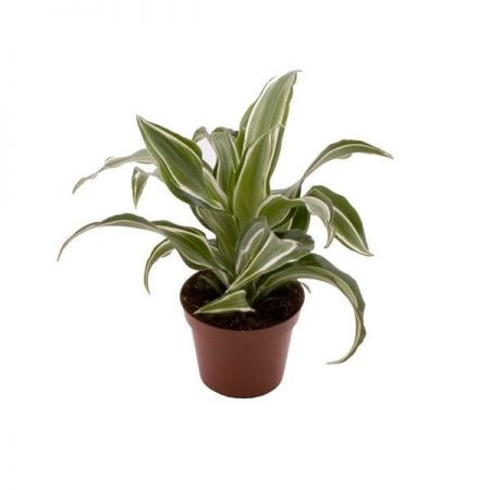 Dragon tree. Dracaena fragrans Kanzi houseplant in a 6cm pot