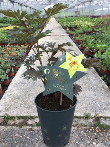 Paeonia Itoh. Intersectional peony Saint Tropez Yellow Peony plant in a 21cm Pot