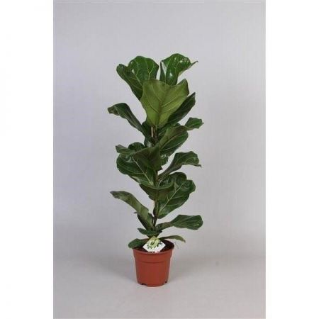 Ficus lyrata House Plant in a 17cm Pot.  65-80cm tall.  V. Rare. Fiddle Fig