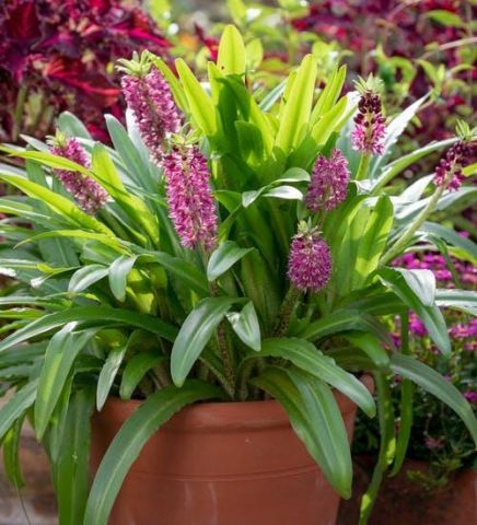 Eucomis Aloha® Leia in a 17cm pot.  Pineapple Lily. Exotic looking.