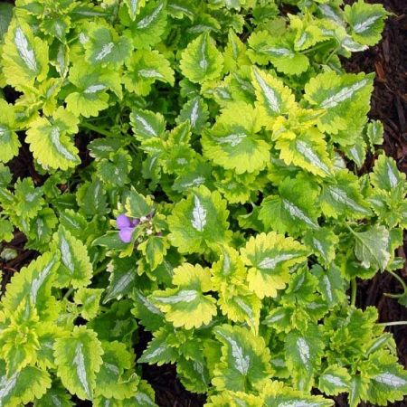 Lamium Anne Greenaway plant in 11 Coloured foliage ground cover