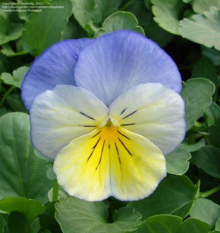 Viola Morpho bedding plant 6 Pack Garden Ready Plants.