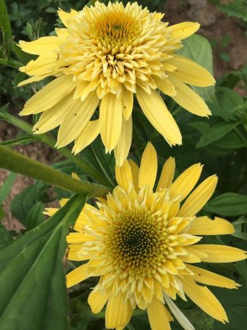 Echinacea Eccentric Yellow (Coneflower) Plant in a 17cm Pot