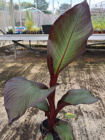 Musa ensete Maurelii Red Plant in a 14cm pot.  Rarely found Red Leaved Banana