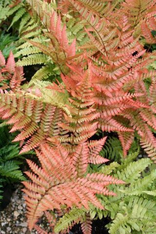 Dryopteris erythrosora Fern Plant in a 13cm pot